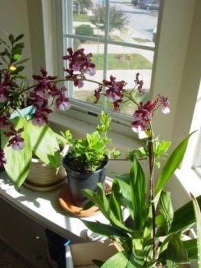 Вырастить орхидеи в домашних условиях