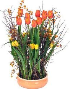 Выращиваем тюльпаны из луковиц в домашних условиях 95