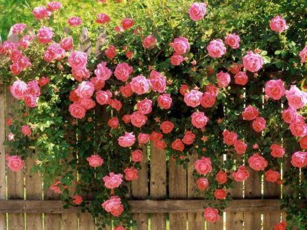 Розы в подмосковье