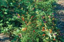 Как вырастить перец чили