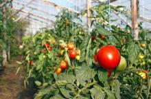 Как правильно пересадить помидоры в теплицу