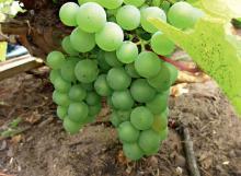 Как пересадить виноград на новое место