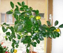 Как правильно пересадить лимон
