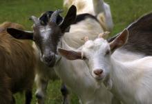 Как выбирать козу при покупке
