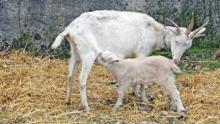 Как выращивать коз
