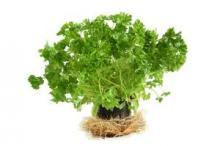 Условия выращивания петрушки