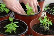 Правила пикировки овощных культур
