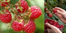 Сладкая ягода, выращиваем малину правильно