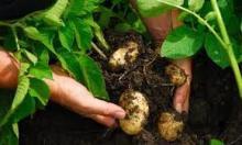 Опыт двухъярусного выращивания картофеля на даче