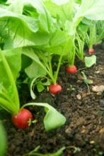 Как вырастить редис