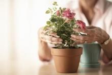 Как выращивать розы в домашних условиях