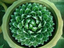 Как вырастить агаву