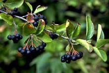 Как вырастить черноплодную рябину (аронию)