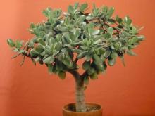 """Как вырастить """"денежное дерево"""""""