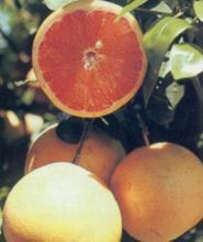 Как вырастить грейпфрут