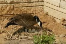 Как вырастить гусей