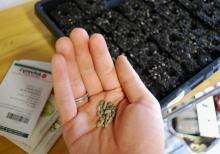 Как вырастить клубнику семенами