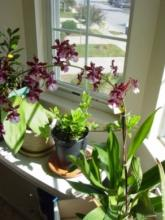 Как вырастить орхидеи в домашних условиях