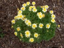Как вырастить хризантему кустарниковою