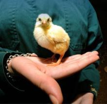 Профилактика заболеваний домашней птицы