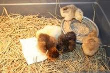 Правильное кормление цыплят