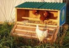 Кормление и содержание взрослой курицы