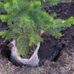 Как пересадить сосну из леса