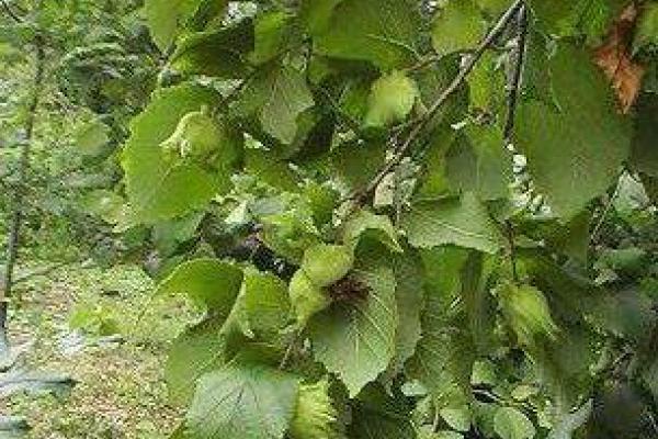 Орех лесной выращивание в домашних условиях