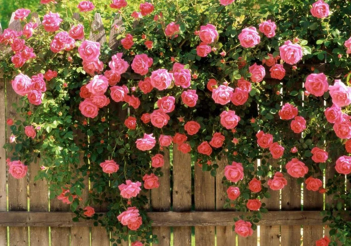 Посадка и уход за плетистой розой: правила обустройства вьющегося розария